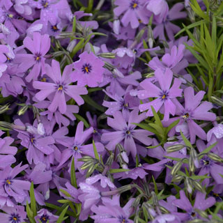 'Purple Beauty' Phlox subulata Image