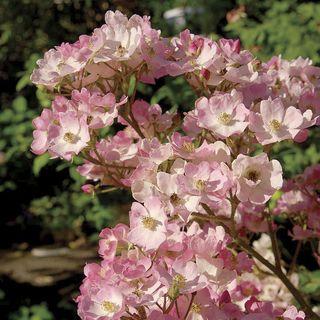 Ballerina Hybrid Musk Rose Image