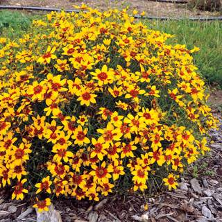 Coreopsis Curry Up