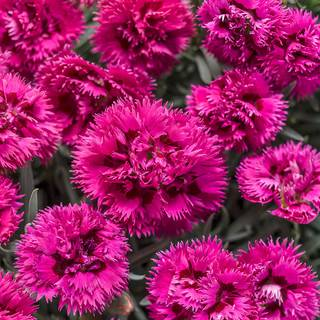 Dianthus Fruit Punch® 'Spiked Punch'