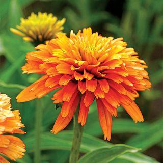 Echinacea Cone-Fections™ Marmalade