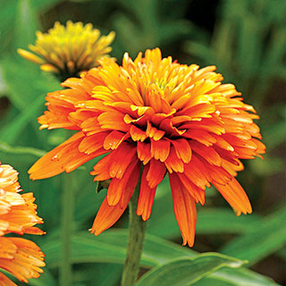 Echinacea Cone-Fections™ Marmalade Image