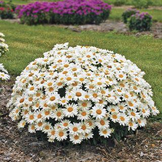 Leucanthemum Whoops-a-Daisy