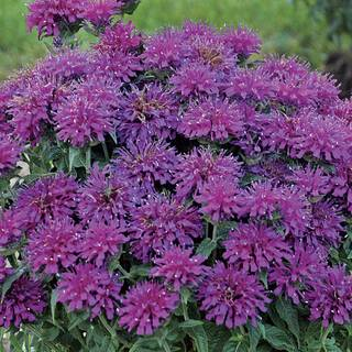 Monarda Sugar Buzz® 'Grape Gumball'