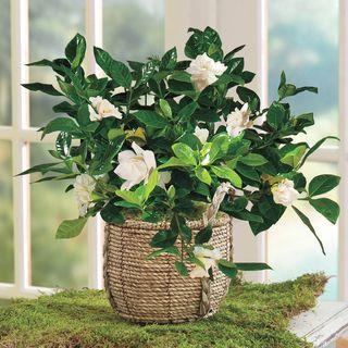 Perfect Perfume Gardenia