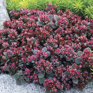 Sedum Sunsparkler® 'Blue Elf'