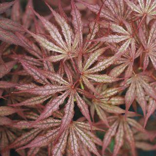 Mikazuki Japanese Maple