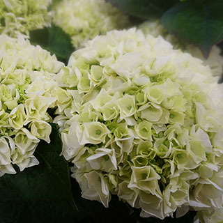 Hydrangea Everlasting® Bride
