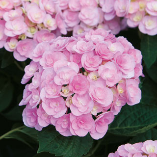 Hydrangea Loveimage