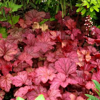 Heuchera 'Berry Smoothie' Image
