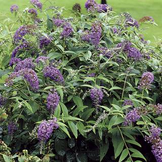 Lo & Behold® Purple Haze Buddleia