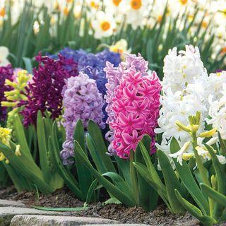 Hyacinth Border Mix