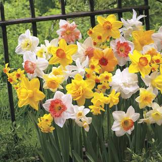 Narcissus All Spring Mix