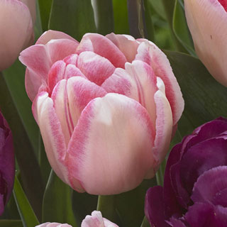 Tulip Ballroom Blossoms