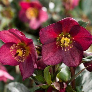 Ice 'n Roses Red Hellebore