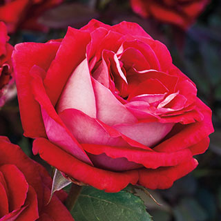 Grateful Heart™ 36-Inch Tree Rose