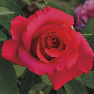 April Moon® 36-Inch Tree Rose
