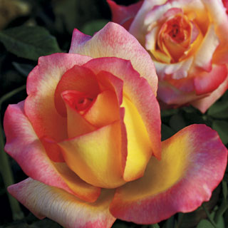 Royal Welcome® 36-Inch Tree Rose