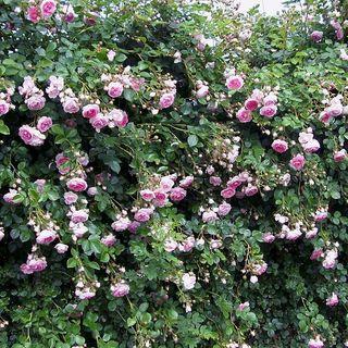 Jasmina™ Arborose® Climbing Rose Image