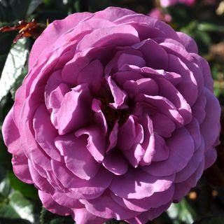 Plum Perfect Sunbelt® Floribunda Rose Image