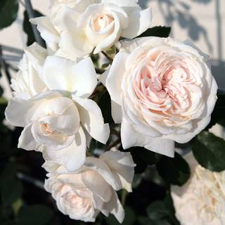 Honeymoon™ Arborose® Climbing Rose