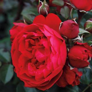 Florentina™ Arborose® Climbing Rose Image