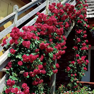Blaze Improved Climbing Rose Image