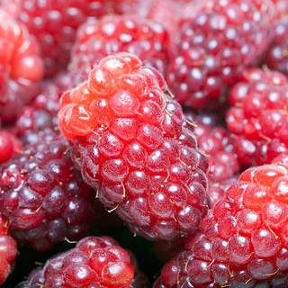 Rubus Loganberry