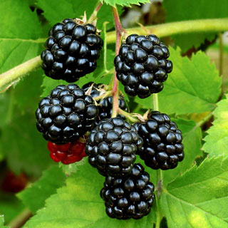 'Sweetie Pie' Blackberry Image