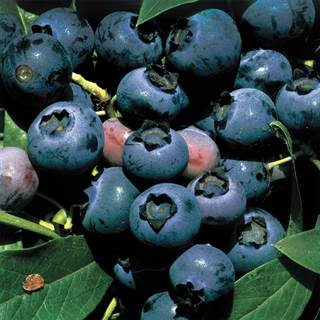 Blueberry O'Neal