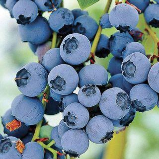 'Razz' Blueberry