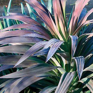 Yucca 'Blue Boy'