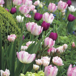 Tulip Kiss n' Tell Mix