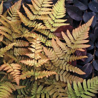 Brilliance Autumn Fern