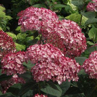 Invincibelle® Ruby Hydrangea