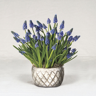 Holiday Muscari Bulb Garden