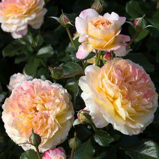 La Park 24-Inch Tree Rose Image