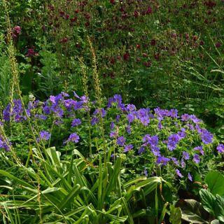 Geranium Johnson's Blue