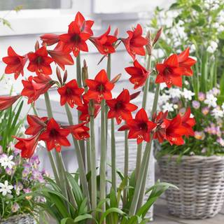 Sonatini® Red Rascal Amaryllis