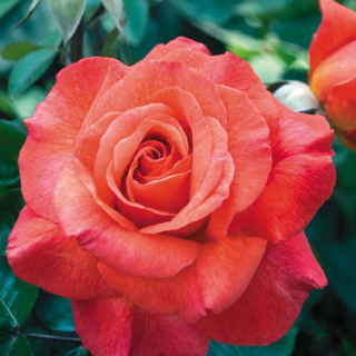 Sedona® 36-Inch Tree Rose Image