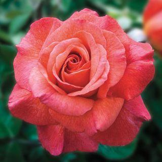Sedona® Hybrid Tea Rose Image