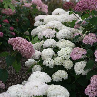 Invincibelle Wee White® Hydrangea Image