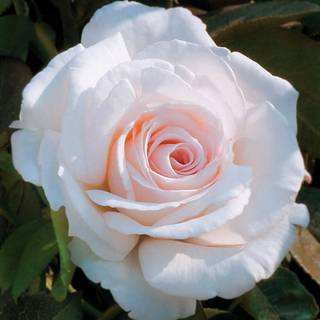 'Clouds of Glory' Hybrid Tea Rose