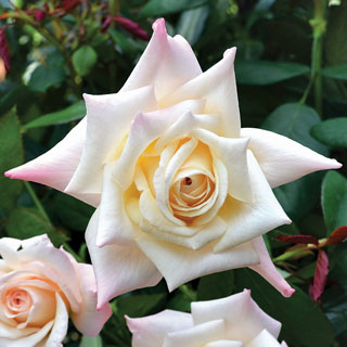 'Soft Whisper' Hybrid Tea Rose