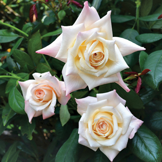 'Soft Whisper' Hybrid Tea Rose Image