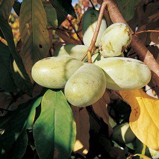KSU Atwood Paw-Paw Tree