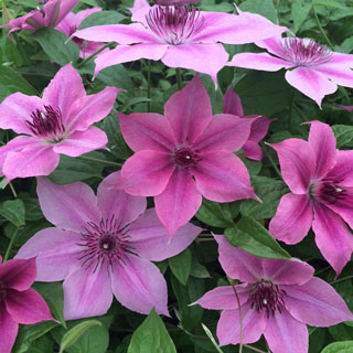 Clematis 'Rosalie' Image