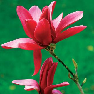 Magnolia Burgundy Star™