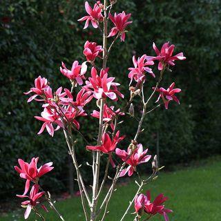 Burgundy Star Magnolia