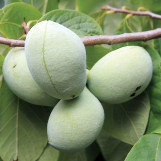 Paw Paw Mango Asimina